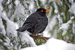 It was snowy 6 days ago 19.1.2018. ⛄ (snow was only 5 days this winter). It's raining now and the snow melted away. Blackbird (male) on the tree in my backyard. Crazy #winter in #Finland. (L.Lahtinen (nature photography)) Tags: winter finland blackbird commonblackbird songbird nature birdlife naturephotography nikond3200 nikkor55300mm wildlife nikkor birdonthetree mustarastas suomi talvi lunta luonto laululintu birdonabranch lintu fauna vantaa europe backyard snowy winterwonderland koiras 100lintulajia