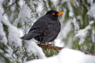 It was snowy 6 days ago 19.1.2018. ⛄ (snow was only 5 days this winter). It's raining now and the snow melted away. Blackbird (male) on the tree in my backyard. Crazy #winter in #Finland.