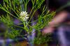 Australian bush flowers (Theresa Hall (teniche)) Tags: 2018 australia australianbush canberra janineregan nsw teniche theresahall wyeenewsouthwales bush bushland bushwalk nativeplants natives summer tree trees nativeflowers flowers nativeflower native outback