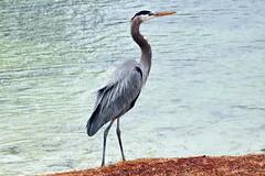 Great Blue Heron in the Rain (Jim Atkins Sr) Tags: heron greatblueheron ardeaherodias lake fairfieldharbour northcarolina sony sonya58 sonyphotographing bird