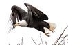 Adult BE leaping into flight # 4 (jonathan.pratt14) Tags: afsteleconvertertc14eii d3 afs200500mmf56eedvr americanbaldeagle adultbaldeagle haliaeetusleucocephalus washingtonstate washingtonwildlife wildlifephotography ridgefieldnationalwildliferefuge raptor birdofprey