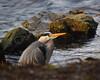 If I squeeze down... (Lord Edam) Tags: welshphotography betwsycoed snowdonia llugwy river stream wildlife heron bird wader