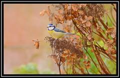 """Blue Tit Hydrangea Ranger..."" (NikonShutterBug1) Tags: nikond7100 tamron70300mm birds ornithology wildlife nature spe smartphotoeditor birdfeedingstation bokeh birdsfeeding bluetit sundaylights"