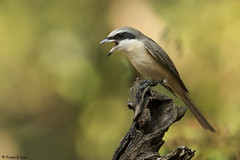 # Phillipine Shrike.......... (Prem K Dev) Tags: perched phillipine pose shrike subcontinent action angry avian nature wildlife wonderful beautiful bird bokeh brown thattekad tree kerala indian colourful