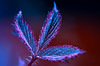 prickly experiment (Simon[L]) Tags: leaf bramble vibrant pink red blue falsecolour canon35mmf18ltm