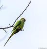 Parakeet (Mohsan Raza Ali Baloch) Tags: nature wild wildlife trails islamabad bird birdwatcher birdlover
