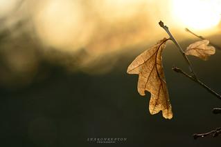 leaf in the golden morning light