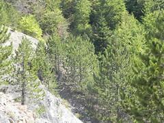 DSCN9568 (Gianluigi Roda / Photographer) Tags: apennines latesummer summer 2012 mountains geologicalevidences geologicaloutcrops rocks trees landscapes appenninobolognese crocedeicolli