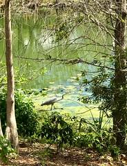 White bird (LarryJay99 ) Tags: water pond smallwater animals birds whitebird featheredfriend hammock westpalmbeach florida