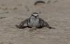 red-capped plover (Charadrius ruficapillus)-0288 (rawshorty) Tags: rawshorty birds nsw australia portmacquarie