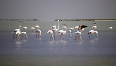 Pink Flamingos (Koralin23) Tags: pink flamingos fenicotteri rosa