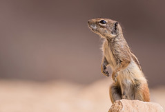 Barbary Ground Squirrel (Wouter's Wildlife Photography) Tags: barbarygroundsquirrel groundsquirrel squirrel mammal rodent animal nature naturephotography wildlife wildlifephotography canaryislands atlantoxerusgetulus explore