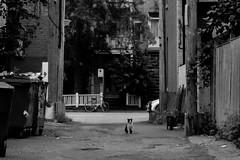 IMG_8372 (Galeria Adriana Araujo) Tags: cat street streetscenes alley montreal québec