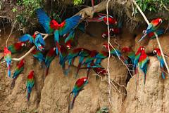 Ara chloroptère - Red-and-green Macaw (charbonjoh) Tags: redandgreenmacaw arachloropterus arachloroptère canoneos7dmarkii canonef400f56lusm collpastamboblanquillo riomadrededios perú