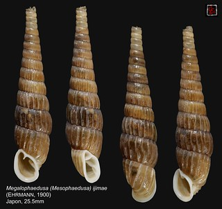 megalophaedusa (mesophaedusa)  ijimae japon 25mm5