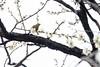 Japan.2018.011 (ginomempin) Tags: plumblossoms ume flowers tree bird spring japan fujixt2 fujifilmxt2 fujifilmxseries