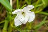 2016-04-05 1700_Ac-1828 Escobedia laevis (OROBANCHACEAE) - E.P. Mallory (B Mlry) Tags: escobedialaevis orobanchaceae 1700acregrant 2016 belize belizedistrict belizezoo ca5 co5 calyx corolla flora leavesopposite leafstructure parcelmanagedbythebelizezoo simpleleaf tbz axillaryinflorescences bracts corallahairy crosssection flower flowerbuds foliage fusedcalyx greenstem habitat insitu salverformcorolla stem style sympetalous tallos teretestem whiteflowers democracia
