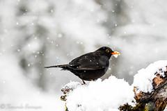 mirlo  3 (barragan1941) Tags: aves cremenes2018 fauna mirlo nieve pajaros