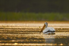 Glittering Gold Wish (cowgirlrightup) Tags: pelican sunrise lake cowgirlrightup glitteringgoldlake alberta canada canon40d summer