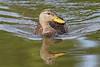 Mottled Duck (Alan Gutsell) Tags: texasbirds texas mexico birds birding photo canon wildlife migration nature alan southtexasbirds mottled duck mottledduck waterfowl