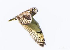 Short-eared Owl -2 (短耳鴞 -2) (GeorgeTsai 168) Tags: shortearedowl owl bif birdinflight raptor raptorinflight