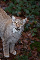 Lynx (Cloudtail the Snow Leopard) Tags: luchs lynx katze cat feline animal tier säugetier mammal beutegreifer predator pinselohr wildpark pforzheim