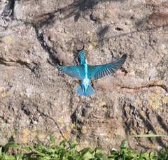 Kingfisher grabbing a snack (Mukumbura) Tags: kingfisher bird fish fishing catch water splash flying wildlife england alcedoatthis bishopspalace moat wells somerset nature wall rock