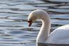 january 2018 lake katherine (timp37) Tags: swan lake katherine illinois palos bird january 2018