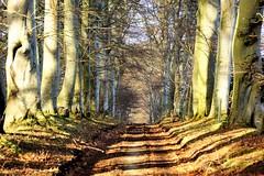 Winter sunshine through the trees. (artanglerPD) Tags: farm track winter sunshine beech trees shadows covered leaves