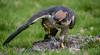 Ferocious feast (Coisroux) Tags: falcobiarmicus falcon predator birdsofprey lanner d5500 nikond nikond5500 wings closeup feathers prey scavenger