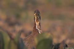 Rufuscent tiger heron (a.chiezzi) Tags: heron brasil pantanal bird birds hypnosis matogrosso uccelli