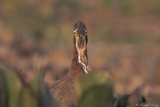 Rufuscent tiger heron