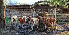 Sankt Stefan Fütterung (wernerfunk) Tags: kälber kuh österreich steiermark