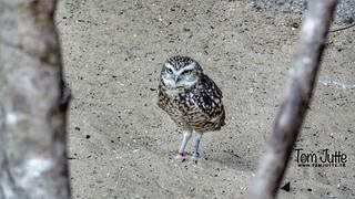 Burrowing owl, Diergaarde Blijdorp, Rotterdam, Netherlands - 5071