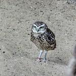 Burrowing owl, Diergaarde Blijdorp, Rotterdam, Netherlands - 5071 thumbnail