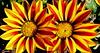 Gazania. (andrzejskałuba) Tags: polska poland pieszyce dolnyśląsk silesia sudety europe panasoniclumixfz200 roślina plant kwiat flower gazania aster yellow żółty czerwony red zieleń green garden ogród natura nature 100v10f unlimitedphotos