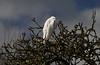 White Egret - TM100300 (Ramarsh45) Tags: sturminster marshall white mill egret dorset twids branches beak beady eye blue cloud sitting watching sunlight perched feathers