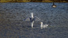 Goeland argente - herring gull (2/3) : help, not enough water here, hehe, no 1/2000s (Franck Zumella) Tags: gull mouette oiseau bird vol flight bif animal ciel rapide fast feather goeland argente herring dive diving plonger plongeon impress impressionner male female femelle jump saut