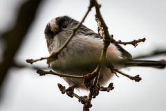 Long Tailed Tit (iantaylor19) Tags: warwickshire wildlife trust brandon marsh long tailed tit