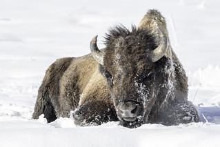 Bison (Explored 2-9-18)