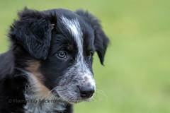 Frisbee (The Papa'razzi of dogs) Tags: sheepdog puppy bordercollie dog jelling regionofsoutherndenmark denmark dk pet animal portrait
