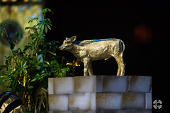 20180128-DSC_8999 (chapelroswell) Tags: cow golden calf gold oldtestament bible preach