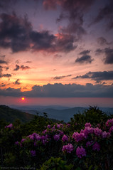 Sunset Blooms (Matt Williams Gallery) Tags: mattwilliamsphotography nikon d500 landscape landscapephotography sunset rhododendron bloom blooms blooming flowers sky clouds colors colorful sun mountains roanhighlands roanmountain northcarolinaphotographer northcarolina janebald appalachiantrail blueridgemountains fineartphotography travel travelphotography view