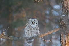 Owl with Mole 'stache ((nature_photonutt) Sue) Tags: owlwithmolemustache sickhumour barredowl ouryard ironbridgeontariocanada