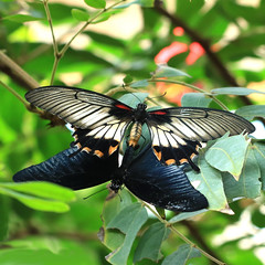 upside down, inside out (oldogs) Tags: butterfly butterflies insects tropical lowii swallowtail