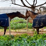 #caballo #caballos #horses #viladecans #hípica #equestrian #huertos #orchard #clubhipic #lestanques #clubhipiclestanques #love #loveisintheair #amor #kiss #besos thumbnail