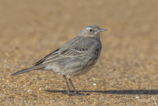 Rock Pipit, Anthus petrosus (or littoralis)