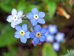 Forget me not (Swallowtail Garden Seeds) Tags: myosotissylvatica forgetmenot blue blueflowers macroflower macro flower swallowtailgardenseeds perennialflowers