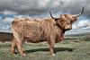 A Beast of Beauty (pm69photography.uk) Tags: highlandcattle dartmoor devon southwest beast horns fuji fujinon fujifilm xt2 16mmf14 postbridge beautiful