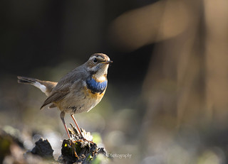 Bluethroat-Luscinia svecica